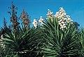 Yucca aloifolia fh 1182.96 GA B.jpg