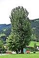 Zell am Ziller - Naturdenkmal ND 9 21 - Pappel und Robinie.jpg