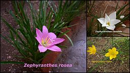Zephyranthes sps