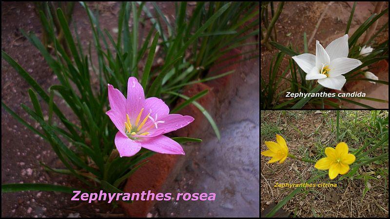 File:Zephyranthes sps.jpg