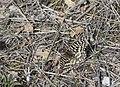 Zerynthia-rumina-Lunel-NO-JohnWalsh.jpg