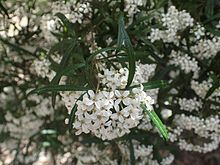 Zieria arborescens leaves and flowers.jpg