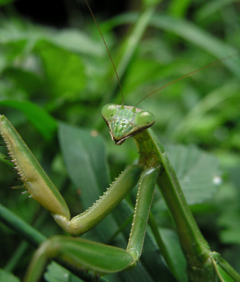 A Chinese Mantis.