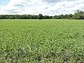 Zossen - ...es grünt so grün,es werden Erbsen. - panoramio.jpg