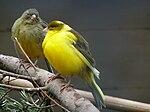 Zwei Kanarienvögel.JPG