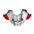 Zygomatic process of maxilla - close up - superior view.png
