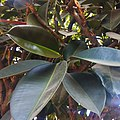 """""""Arya"""" Ficus elastica Pilangsari 2019 2.jpg"""