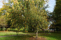 'Malus x zumi' crab apple Golden Hornet - Beale Arboretum West Lodge Park Hadley Wood Enfield London.jpg