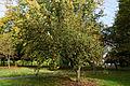 'Malus x zumi' crab apple Golden Hornet - Beale Arboretum West Lodge Park Hadley Wood Enfield London.jpg