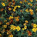 'Tagetes patula' French marigold Tall Scotch Prize Capel Manor Gardens Enfield London England 1 (cropped).jpg