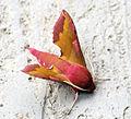 (1992) Small Elephant Hawk-moth (Deilephila porcellus) (14244551435).jpg