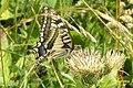 (Continental) Swallowtail (Lermoos) (15497112470) (2).jpg
