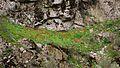 Горные тюльпаны - panoramio.jpg
