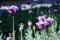 Дендропарк, тюльпани, м. Кропивницький.jpg