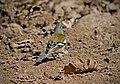 Зяблик - Fringilla coelebs - Common chaffinch - Обикновена чинка - Buchfink (25103048713).jpg