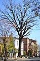 Красень дуб по вулиця Архітектора Артинова, 24 у Вінниці. Фото 1.jpg