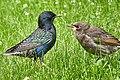 Скворцы обыкновенные (Sturnus vulgaris), отеческое наставление.jpg