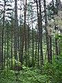 Сосна кримська біля с. Куйбишево.jpg