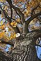 Споменик природе - стабло храста цера у Доњој Црнући крај Горњег Милановца 05.jpg