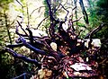 Тисо-Самшитовая роща (корни сдерживают камнепад).jpg