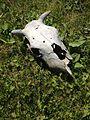 Череп коровы.jpg