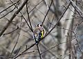 Черноголовый щегол (Обыкновенный щегол) - Carduelis carduelis - European goldfinch - Кадънка - Stieglitz (25185035681).jpg