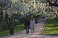 Яблони цветут.jpg
