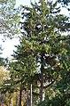 Ялина колюча у Гунських криницях. Фото 2.jpg