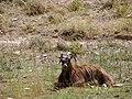 گوسفند Sheep 4.jpg