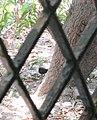 வெள்ளை நெஞ்சு நீர்க்கோழி 02.jpg