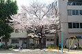 かすがえ公園 ぶらん桜 - Flickr - m-louis.jpg