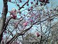 京都競馬場の桜 - panoramio (3).jpg