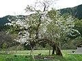 八木沢集落の桜(ソメイヨシノ) 樹齢200年ちかい桜は今でも咲きほこる。.JPG