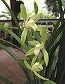 四季天一素 Cymbidium ensifolium -澳門蘭展 Macau Orchid Show- (12147562916).jpg