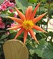 大麗花-星型 Dahlia Star -香港花展 Hong Kong Flower Show- (39218558360).jpg