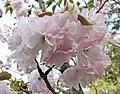 手毬櫻 Cerasus serrulata Temari -日本京都植物園 Kyoto Botanical Garden, Japan- (26888279837).jpg
