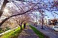 新川さくら並木(Shinkawa cherry trees) - panoramio (1).jpg