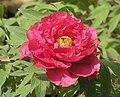 日本牡丹-新日月 Paeonia suffruticosa Shin Jitsugetsu -洛陽王城公園 Luoyang, China- (12452319183).jpg