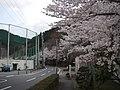 桜(アルカディア南部総合公園) - panoramio.jpg