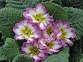 歐洲報春 Primula vulgaris (Primula acaulis) -香港北區花鳥蟲魚展 North District Flower Show, Hong Kong- (9252406645).jpg