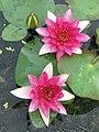 睡蓮 Nymphaea Louise -深圳洪湖公園 Shenzhen Honghu Park, China- (14395426256).jpg