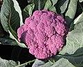 紫椰菜花 Brassica oleracea v botrytis 'Graffiti' -香港漁農美食嘉年華 Hong Kong Farmfest- (9198148729).jpg