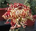 菊花-墨李魁 Chrysanthemum morifolium -中山小欖菊花會 Xiaolan Chrysanthemum Show, China- (11961464833).jpg