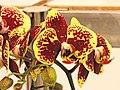蝴蝶蘭 Phalaenopsis Taida Pearl -台南國際蘭展 Taiwan International Orchid Show- (39129452920).jpg
