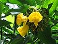 閉鞘薑 Costus speciosus -新加坡植物園 Singapore Botanic Gardens- (9216130762).jpg