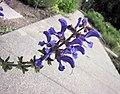 鼠尾草屬 Salvia virgata -哥本哈根大學植物園 Copenhagen University Botanical Garden- (37020798491).jpg