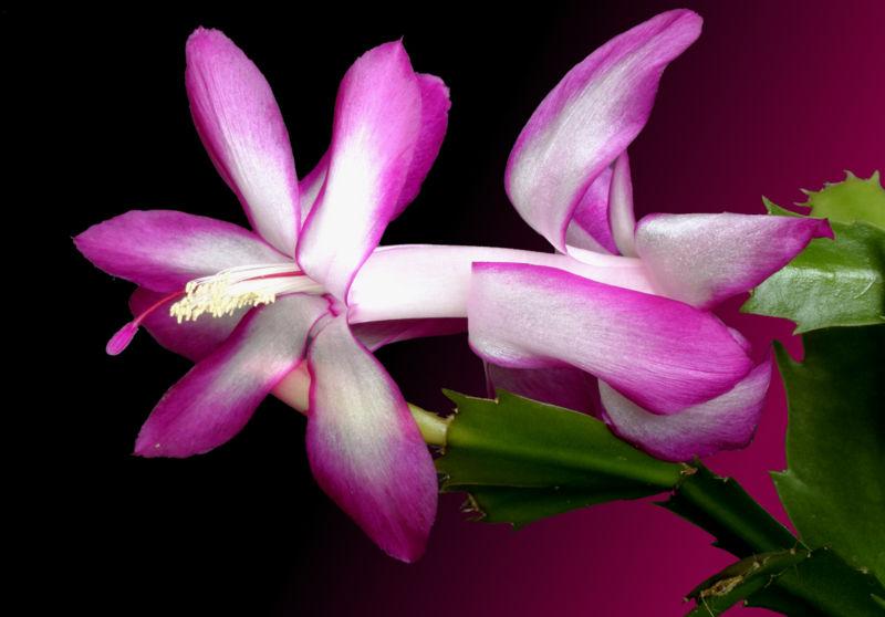 Fotografije kaktusa - Page 10 800px--_Schlumbergera_trunctata_-