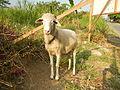 0104jfSan Manuel Sheep San Jose del MonteCityfvf 04.JPG
