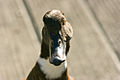 01 New Zealand Shoveler Duck-0056.jpg