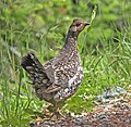 085 - SOOTY GROUSE (6-14-2014) 4600-6100 ft, fr 4812, josephine co, oregon -01 (14396032557).jpg